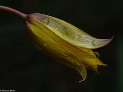 Yellow and wet (Th.Duerr) Tags: flower blume makro yellow wet raindrops wassertropfen garten blatt