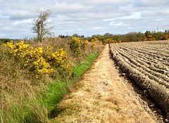 April Gorse (JulieK (thanks for 7 million views)) Tags: gorse arable ploughed furrows field hedge countryside iphone5 wexford ireland irish rural april