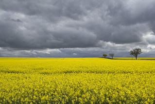 Black clouds over the rape fields