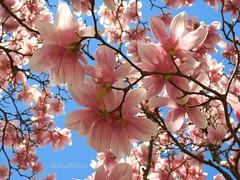 7DWF Spring blossom (NaturewithMar) Tags: sping blossom magnolia flower tree macro sky 7dwf crazytuesdays theme filltheframe
