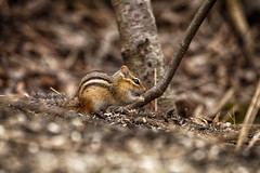 Snackin' (flashfix) Tags: april172017 2017inphotos ottawa ontario canada canon canoneos5dmarkii 5dmarkii 100mm400mm nature mothernature merbleueconservationarea woods ground dirt seeds spring chipmunk rodent