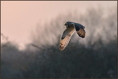 Short-eared Owl (image 1 of 5) (Full Moon Images) Tags: east anglia fens cambridgeshire flight flying bird prey birdofprey shorteared owl short eared seo