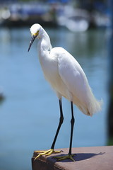 Egret (markbuckley1) Tags: egret florida wildlife white serene nature purity clearwater