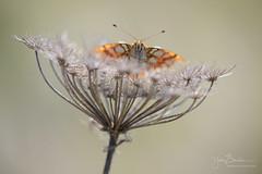 Issoria lathonia (Yvan Barbier) Tags: insecta insectes issorialathonia issoriasp lepidoptera lépidoptères nymphalidae papillons petitnacré rhopalocera rhopalocères