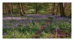 Childhood memories of fun and freedom (jeannie debs) Tags: blueglade bluebells flowers wild woodland glade childhood memories freedom exploring fun explore explored