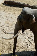 Wildlands Adventure Zoo Emmen (l-vandervegt) Tags: 2017 nederland netherlands holland niederlande drenthe emmen wildlands adventure zoo dierentuin elephant olifant