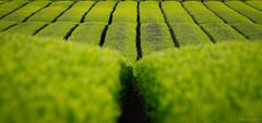 Chá-verde no Japão (Street ClicK's) Tags: japão chá verde japan nihon shizuoka canon 7d