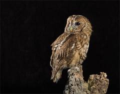 Tawny Owl on Stick (Gary Stamp cPAGB) Tags: captivelight canon owl studio
