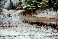 April Ice Storm (jenna.lindquist) Tags: icestorm ice storm april aprilstorm pond water birds bird unknownbird yellowlegs greateryellowlegs flying flyingbirds flyingyellowlegs wisconsin northwoods northernwisconsin canon canon70200f28lll canon5dmarkiii cattails frozen