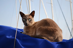 Gratuitous Cat Photo (Apionid) Tags: 365 moriarty cat chat gato katze boat blue nikond7000 portrait