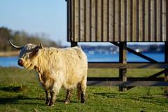 Liv / Life (lmbythesea) Tags: liv fs170430 fotosondag västra frölunda highland cattle naturreservat välen ko göteborg gothenburg
