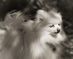 Molly (mariannedeselle (slowly catching up)) Tags: dog pomeranian pom spitz whitedog littledog