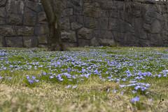 Flower pot like a fairy tale (jannaheli) Tags: suomi finland helsinki nikond7200 vappu firstofmay luonto nature kukkia flowers blue sininen piknik kevät spring kesäalkaa summerstart