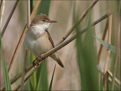 Reed warbler (Paul Green Photography) Tags: nature wildlife reedwarbler nbw paulgreenbirdphotography
