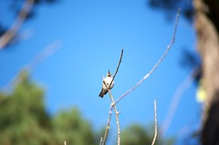 DSC_1573 (john.r.d.reynolds) Tags: goldengatepark birds wildlife hummingbirds