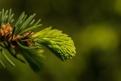 Opening Spruce Bud* (michel.eichelberger) Tags: tree green nature canon schweiz switzerland natur sharp bud grn spruce aargau baum fichte frick knospe scharf canonef100mmf28lmacroisusm
