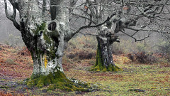 (Mimadeo) Tags: wood tree nature wet rain mystery forest landscape leaf branch bare bark mysterious horror trunk nightmare unreal twisted beech
