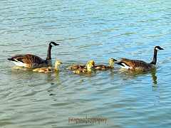 PROTECTING THE FAMILY ... (P5213135) (jmaphotography) Tags: family lake water geese ducks lakeelizabeth