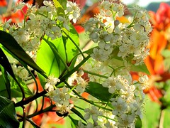 Blooms in May (David Hoffman '41) Tags: light orange white flower green nature virginia leaf spring blossom may filter bloom transparent redleaf photinia charlottecourthouse charlottecounty cycleofnature