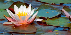 water (Ali Gardener - layout /?details=1) Tags: fleur colours waterlily blossom couleurs barvy