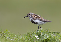 Dunlin (Dave @ Catchlight Images) Tags: