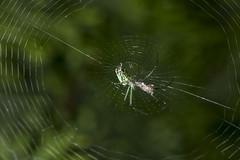 Spider eating series 6 (Richard Ricciardi) Tags: spider eating web spinne araa  araigne ragno timeseries     gagamba    nhn  spidertimeseries