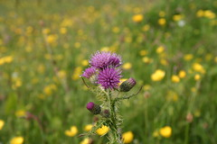 Thistle (Owen H R) Tags: flower colour scotland orkney bokeh thistle owenhr