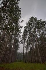 Tall Trees - Heron National Park - Northern Michigan (Tyr-Sog) Tags: tree michigan cottage lr4 nikond600 huronnationalforest lightroom4 nikonnikkorafs1835mmf3545ged nikbundlesoftware 07272013