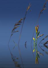 Rising daylily bud (KF-Photo) Tags: wasser pentax crop spiegelung lilie knospe taglilie k30 wurmlingerkapelle wurmlingen samyang1485