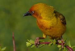 Cape Weaver (5) (Richard Collier - Wildlife and Travel Photography) Tags: africa wildlife travelsouthafrica fantasticnature birdsafricabirds