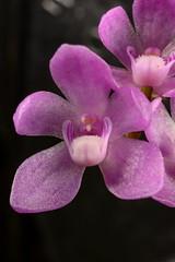 Sarcochilus cecilia (Nurelias) Tags: flowers flores orchid flower color macro fleur beautiful forest photography flora nikon rainforest colorful orchids orchidaceae tropical orquidea orchidee makro flore orchideen d7100 orchidales