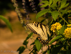 Beautiful Tiger Swallowtail (Rick Smotherman) Tags: flowers summer stpeters nature leaves canon butterfly garden insect outdoors 50mm morninglight backyard cloudy august 7d cloudysky canon7d