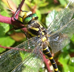 "Gold ringed dragonfly... • <a style=""font-size:0.8em;"" href=""http://www.flickr.com/photos/57024565@N00/9566316367/"" target=""_blank"">View on Flickr</a>"