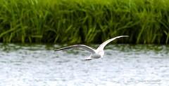 In flight... (laufar1) Tags: birds canon seagull flight cusworth
