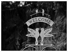 Sweet Serendipity (daveelmore) Tags: two bw copyright bird nature sign garden blackwhite hummingbird pair welcome allrightsreserved sheppardshook mzuiko40150mmr daveelmore