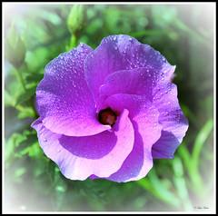 Alyogyne huegelii (Creative_Pixels (On/Off Busy)) Tags: flowers blue plant flower nature fleur spring purple native indigo australia lilac hibiscus fiori shrub indigenous alyogyne huegelii