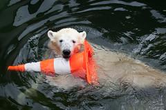 2013-09-13-11h46m43.272P1316 (A.J. Haverkamp) Tags: germany zoo polarbear wuppertal ijsbeer dierentuin canonef100400mmf4556lisusmlens anori httpwwwzoowuppertalde