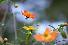 Dahlia coccinea (Mah Nava) Tags: dahlia autumn orange flower bokeh herbst blume  dahlie botanischergartenhamburg dahliacoccinea   scarletdahlia scharlachdahlie scharlachdahlia