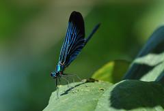 Calopteryx virgo. (franco4553) Tags: calopteryxvirgo macromarvels naturethroughthelens