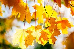 _MG_9945 (Bill Gagne Photography) Tags: autumn blackandwhite color colors leaves canon bokeh fallcolors autumnleaves autumncolors winelabels canonef135mmf2lusm vsco billsphotos canoneos5dmkll vscopresets billgagnephotography