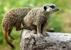 Meerkat at Dudley Zoo (chrisbell50000) Tags: england west zoo meerkat dudley midlands chrisbellphotocom
