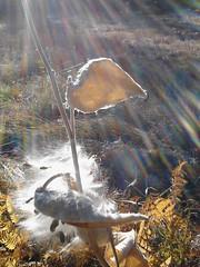 "Back-lit ""Showy Milkweed"", photo by Georgia Stigall 10/23/2013 (BobcatWeather) Tags: yosemitenationalpark california bobcatweather georgiastigall plant showymilkweed asclepiasspeciosa apocynaceae yosemitevalley usa outside nature"