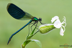 Calopteryx Splendens on White Flower (Stefano.Minella) Tags: blue white flower macro green animal animals photoshop canon eos during is photo with post dragonfly shots weekend  some 100mm 7d l production usm f56 f28 ef 41 stefano lightroom libellula arezzo calopteryx 400mm minella splendens cs6 2013