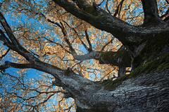 Shrine (Robert Marić) Tags: tree leaf oak shrine istria istra perun quercuspubescens višnjan tićan downyoak pubescentoak medunac