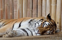 Siberische tijger - Panthera tigris altaica - Siberian Tiger (MrTDiddy) Tags: male cat mammal zoo big kat feline tiger bigcat antwerp siberian tijger tigris antwerpen zooantwerpen amur grote panthera mannelijk altaica zoogdier amoer grotekat siberische kharlan