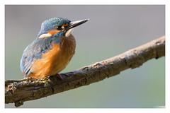 Joyeuses Fêtes à toutes et à tous :D (Denis.R) Tags: france canon 300mm kingfisher lorraine moselle jeune alcedoatthis mâle martinpêcheur denisr 5dmarkiii denisrebadj