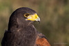 Harris hawk (Parabuteo unicinctus) (Keith in Exeter) Tags: hawk feathers raptor birdofprey falconry harrishawk harrisshawk parabuteounicinctus the~wonders~of~nature vigilantphotographersunite vpu2 vpu3 vpu4 vpu5 vpu6 vpu7 vpu8 vpu9 vpu10