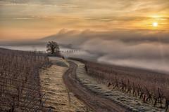Lumire matinale (Patrick d'Alsace) Tags: sunset france fog superb alsace simply vignes brouillard brume rgionalsace