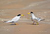 The Gift (Amy Hudechek Photography) Tags: fish bird beach texas gift tern leasttern happyphotographer mygearandme mygearandmepremium mygearandmebronze mygearandmesilver mygearandmegold mygearandmeplatinum mygearandmediamond amyhudechek