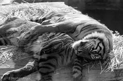 SF Zoo on Acros (S Migol) Tags: blackandwhite film monochrome analog pentax 35mmfilm 135 sfzoo greyscale acros pentaxlx smigol xtol13 smcpentaxa11485mm stephenmigol copyright2013